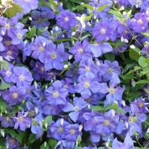 Clématite à fleurs mauves