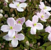 Clématite caduque à fleurs roses