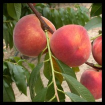 PECHER - Prunus persica 'Redhaven'