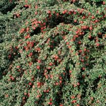 Cotoneaster mycrophyllus
