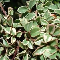 Cotoneaster panaché