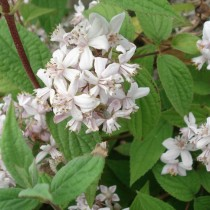 Deutzia 'Mont rose'