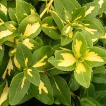 Fusain rampant panaché jaune 'Sunspot'