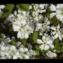Buisson de perles