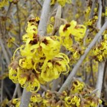 Hamamelis jaune 'A promise'