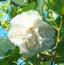 Althea à fleurs doubles blanches