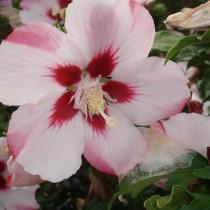 Althea à fleurs simples rose à cœur rouge