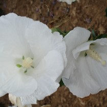 Althea blanc