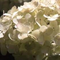 Hortensia à feuille dentées