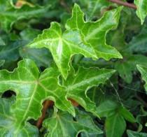 Lierre vert à feuille découpée