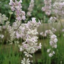Lavande blanche 'Edelweiss'
