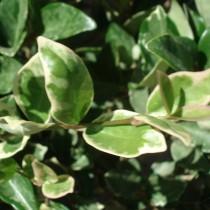 Troëne du Japon 'Texanum variegatum'