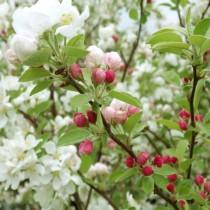 Pommier à fleurs Evereste
