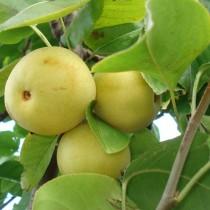 NASHIS - Pyrus pyrifolia 'Shinseiki'
