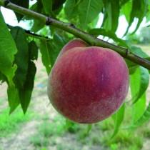PECHER - Prunus persica 'Amsden'