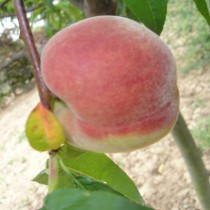 PECHER - Prunus persica 'Redwing'