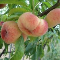 PECHER - Prunus persica 'Saturne'