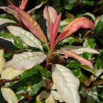Photinia panaché