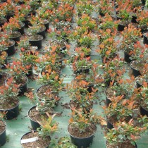 Photinia fraseri 'Nana select'
