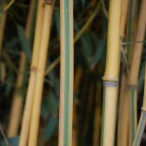 Phyllostachys 'Spectabilis'