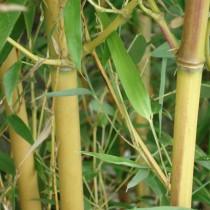 Phyllostachys 'Aureocaulis'