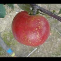 POMMIER - Malus communis 'Api rose'