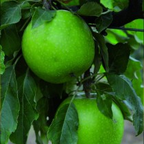 POMMIER - Malus communis 'Granny Smith'