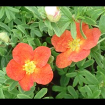 Potentille rouge Red Ace®