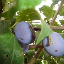PRUNIER - Prunus domestica 'Quetsche d'Alsace'