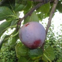 PRUNIER - Prunus domestica 'Reine Claude Althan'