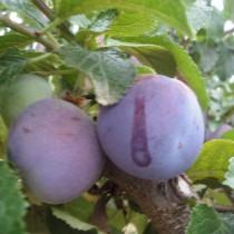PRUNIER - Prunus domestica 'Reine Claude violette'