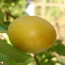 PRUNIER - Prunus domestica 'Sainte Catherine'