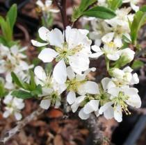 Cerisier rampant fleurs blancs