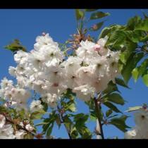 Cerisier à fleurs 'Shirotae'