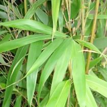 Bambou japonais