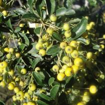 Pyracantha jaune