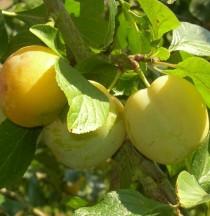 PRUNIER - Prunus domestica 'Reine Claude d'Oullins'