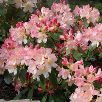 rhododendron nain rose teinte