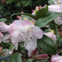 Rhododendron nain rose clair