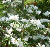 Rhododendron nain blanc