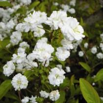 Spirée prunifolia Plena