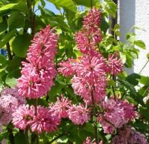 Lilas rose tendre 'James Mc Farlane'