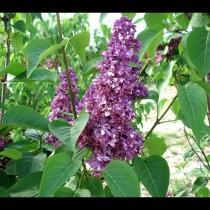 Lilas violet 'Charles Joly'