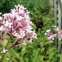 Lilas à petites feuilles 'Superba'