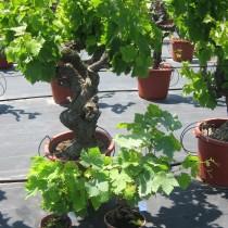 Vigne blanche