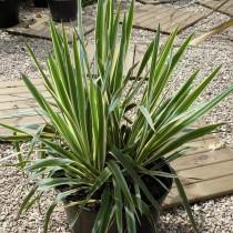 Yucca panaché 'Bright Edge'