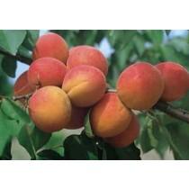 ABRICOTIER - Prunus armeniaca 'Lambertin n°1'