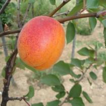 ABRICOTIER - Prunus armeniaca 'Goldrich'