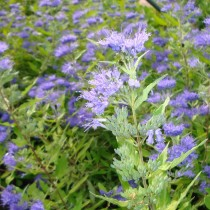Caryopteris 'Worcester gold'