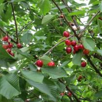 CERISIER - Prunus avium - bigarreau 'Coeur de pigeon'